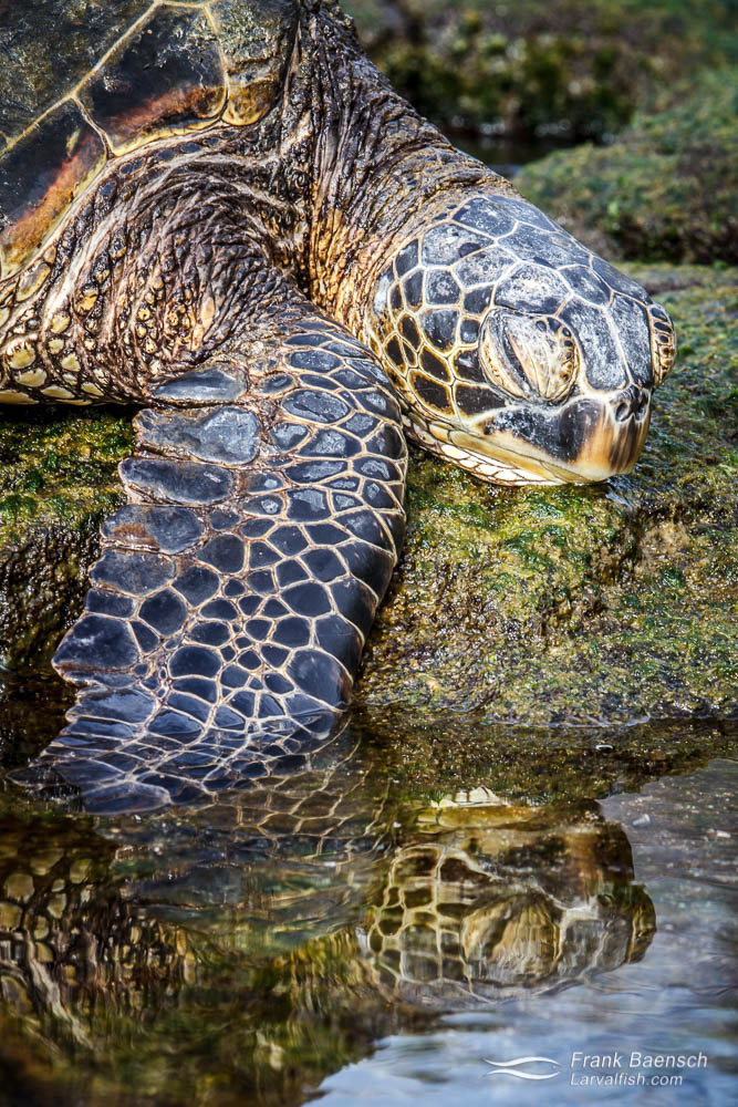 Green sea turtle resting on the shore.  Hawaii.