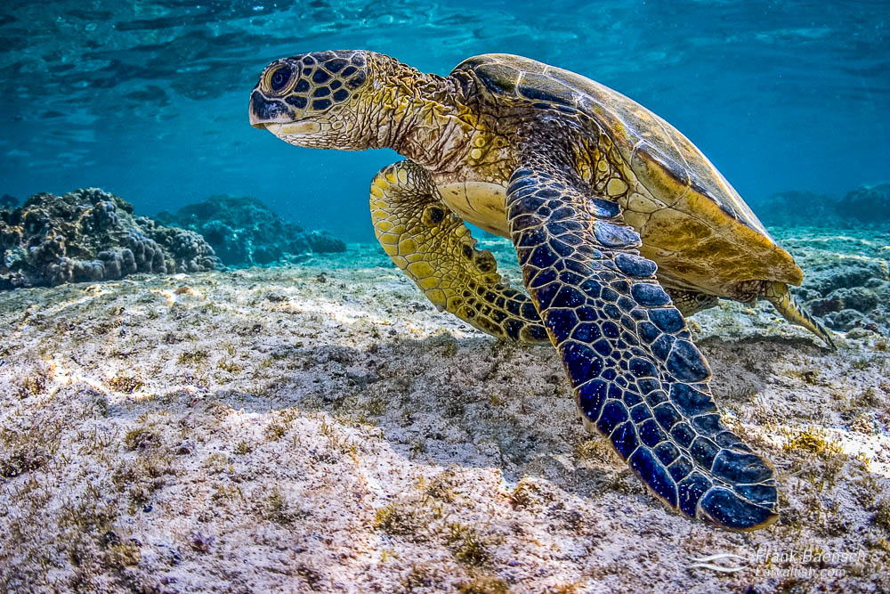 Green sea turtle - Icon of the sea. Hawaii.
