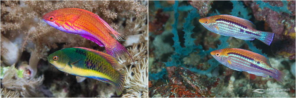 L: Two wrasses retreat into hiding at dusk (Indonesia). The different color pattern of this male blue-sided wrasse (below) and male filamented flasher wrasse help them tell each other apart. R: The matching color pattern of these male Orangeback wrasses help them recognize each other.
