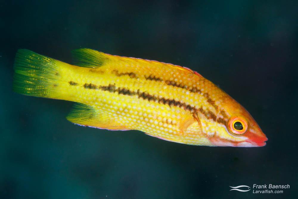 Juvenile Mexican hogfish (Bodianus diplotaenia). Costa Rica.