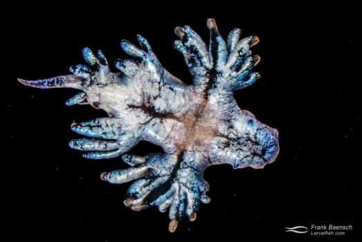 Collected sea swallow (Glaucus atlanticus), a pelagic aeolid nudibranch.
