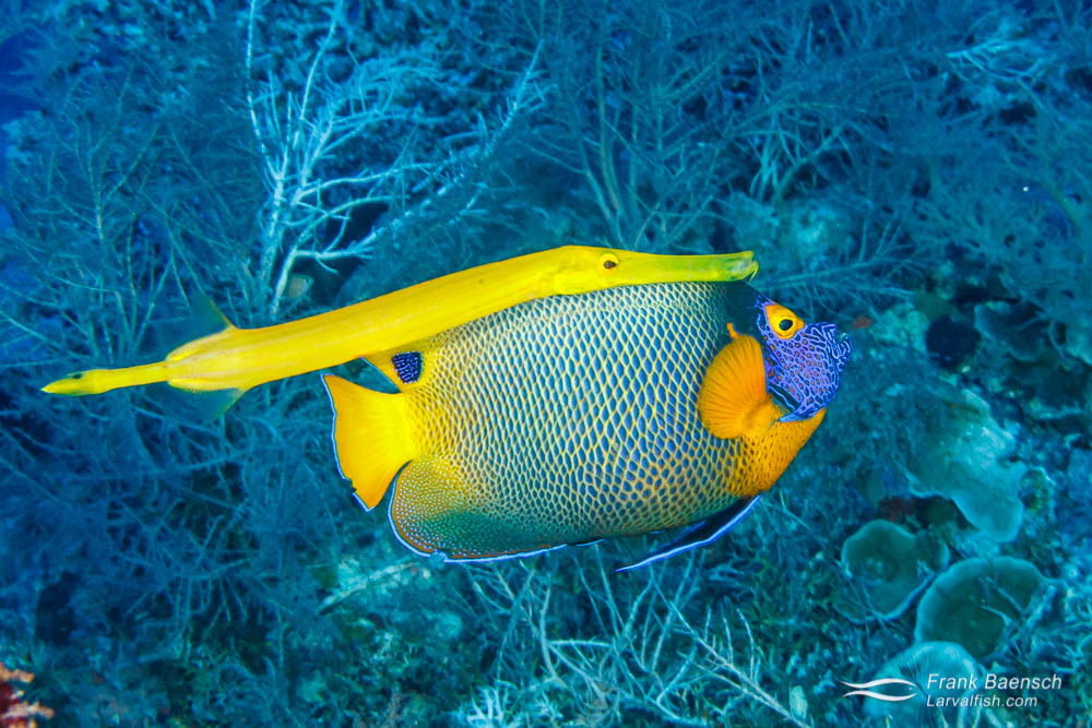 Chinese trumpetfish (Aulostomus chinesis) shadowing  a blue-girdled angelfish (Pomacanthus navarchus) to obtain a meal. Palau.
