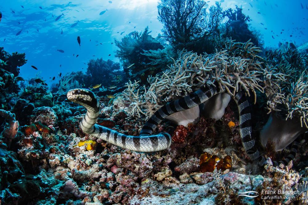 Banded sea krait (Laticauda colubrina) in Raja Ampat, Indonesia.