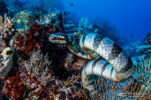 Banded sea krait (Laticauda colubrina) curls up in typical snake-like fashion on a reef  in Raja Ampat, Indonesia.