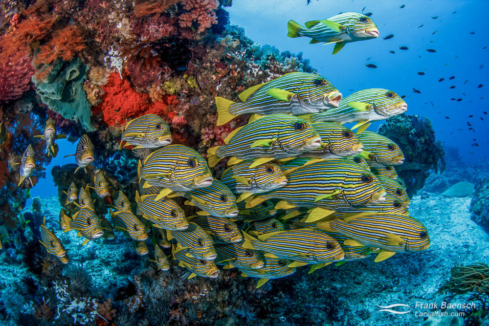 Banded sweetlips (Plectorhinchus lineatus) school under a colorful bommie in Raja Ampat, Indonesia.