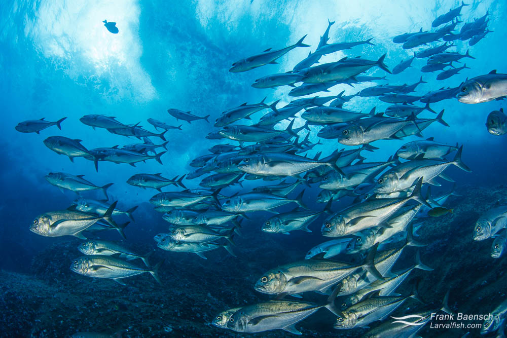 A school of bigeye trevally (C. sexfasciatus) races along sea cliffs under stormy seas off Socorro Island.