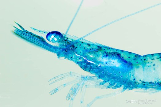 Collected blue pelagic shrimp.