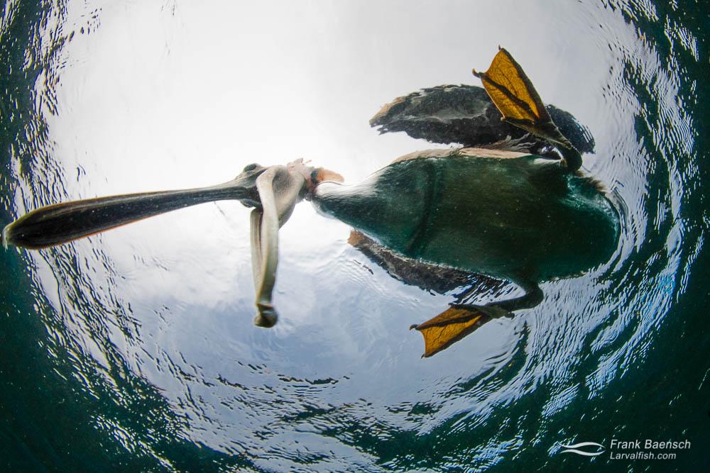 A brown pelican (Pelecanus occidentalis) bites my dome port. Galapagos Islands.