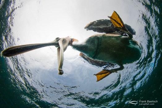 A brown pelican (Pelecanus occidentalis) bites my dome port.