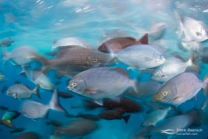 Motion blur of Cortez chub (Kyphosus elegans) and Pacific red snapper (Lutjanus peru) feeding at the surface. Cocos Island.