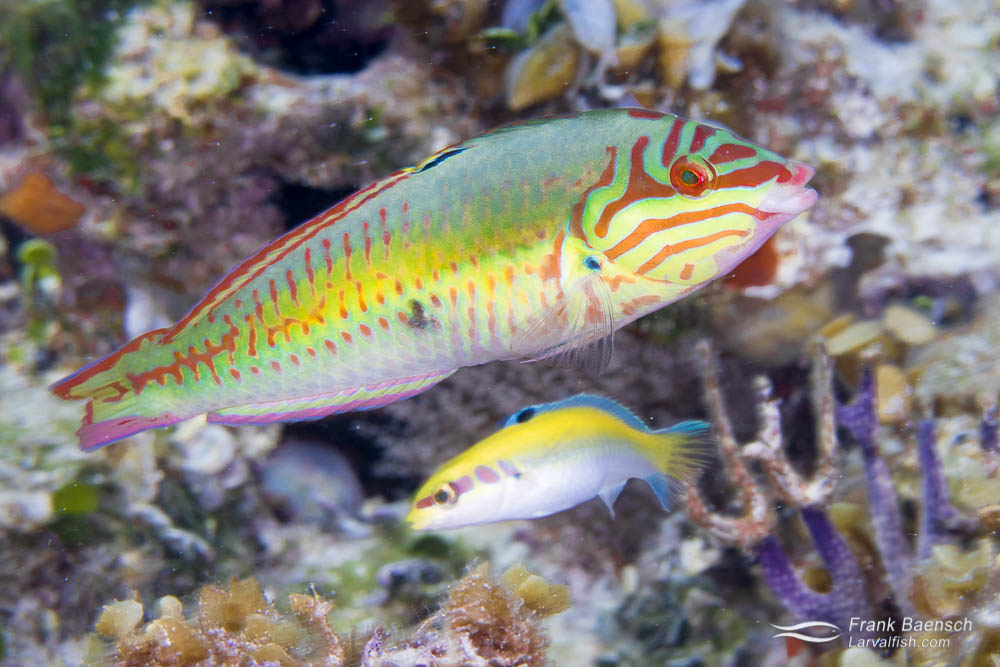 Clown wrasse (Halichoeres maculipinna) - intermediate phase. Bahamas.