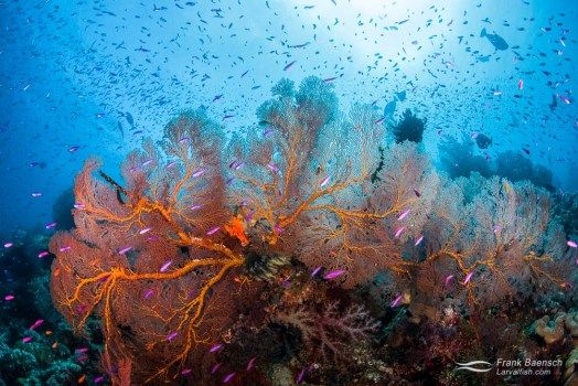Anthias swarm around gorgonian on a reef in Eastern Fields, PNG.