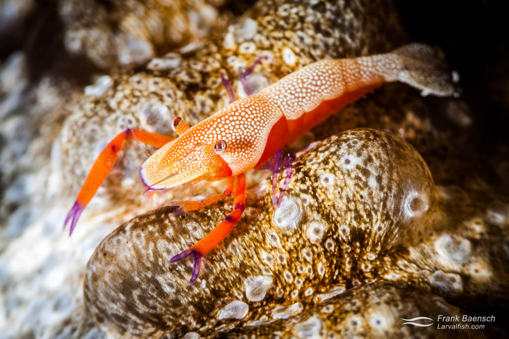 An emperor shrimp (Periclimenes imperator ) on a serpentine sea cucumber. Indonesia.