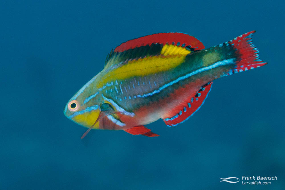 Exquisite Wrasse (Cirrhilabrus exquisitus) in Palau.