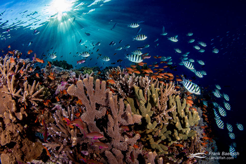 Indo-pacific sergeant and anthias reef scene at sunset. Fiji.