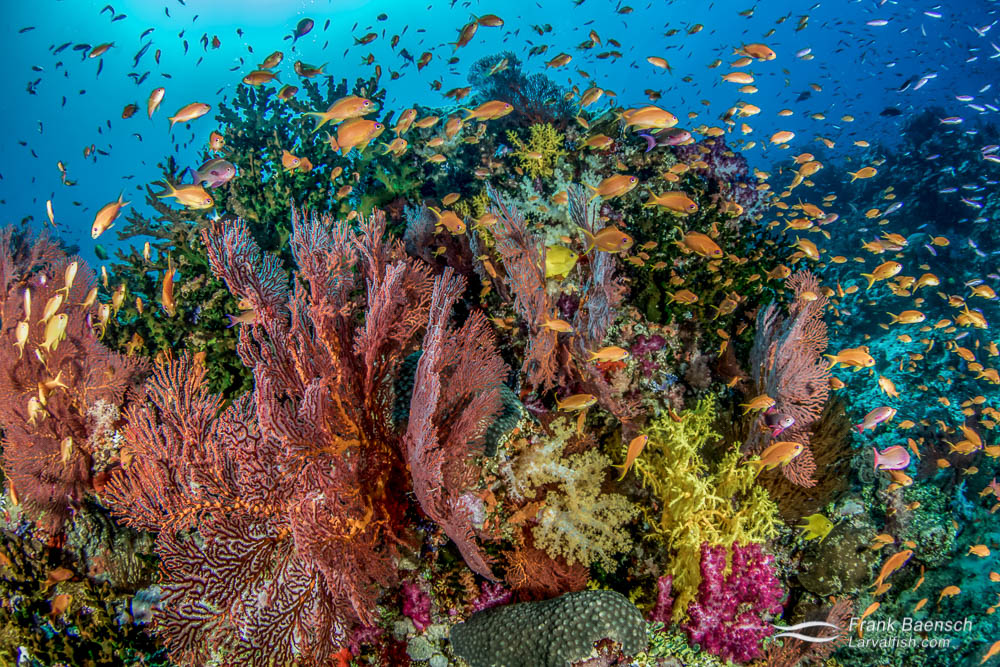 Anthias soft coral reef scene in Fiji.