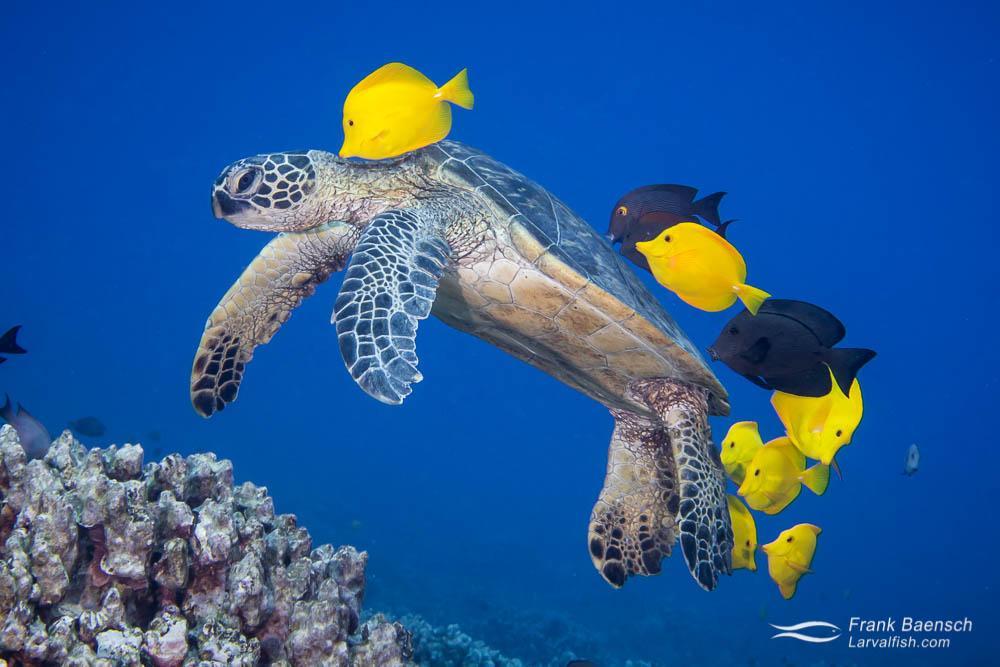 Yellow tang and brown tang clean a green sea turtle (Chelonia mydas) off the Big Island, Hawaii.