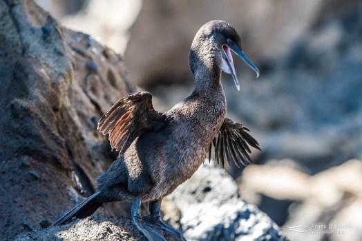 Flightless cormorant (Phalacrocorax harrisi).