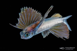 Juvenile flyingfish- 68 mm TL