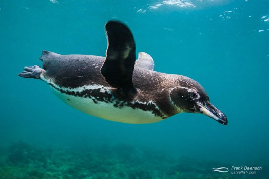 Galapagos penguin (Spheniscus mendiculus) races by underwater.