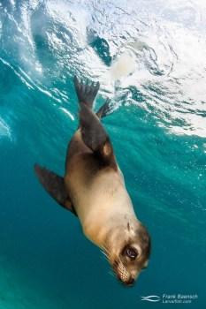 Galapagos sea lion (Zalophus wollebaeki) diving down from the surface.