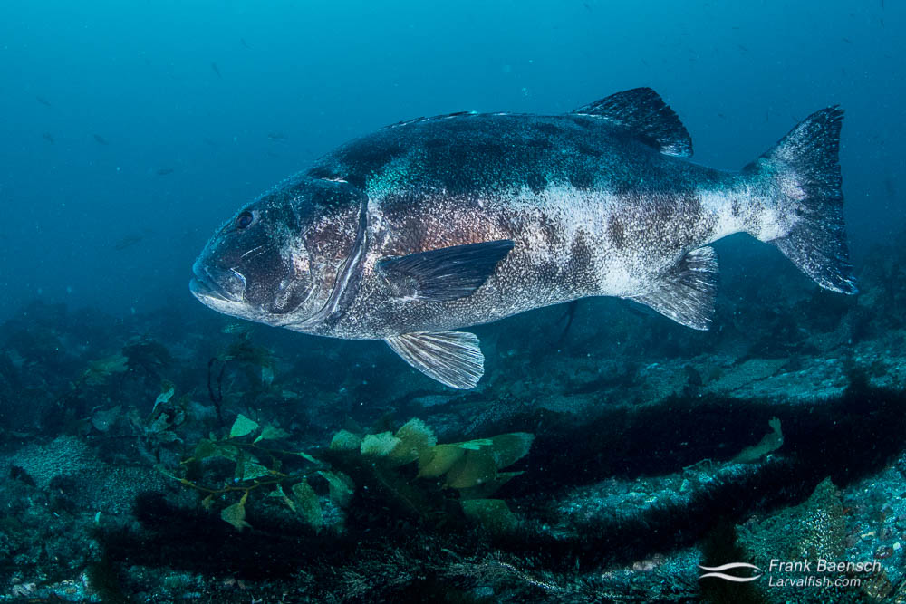Giant Sea Bass (Sterolepis gigas). California.