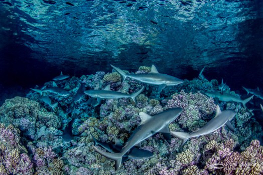 Gray reef sharks (Carcharhinus amblyrhynchos) hunt in the shallows at night in Fakarava South Pass (Tetamanu Pass), French Polynesia.