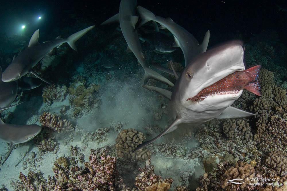 Gray reef sharks (Carcharhinus amblyrhynchos) feeding on a grouper at night in Fakarava South Pass (Tetamanu Pass), French Polynesia.