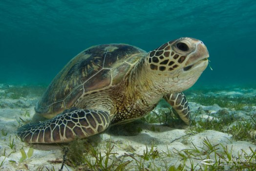 A green turtle (Chelonia mydas) feeds on turtle grass (Thalassia testudinum) in a bay off Lod Howe Island.