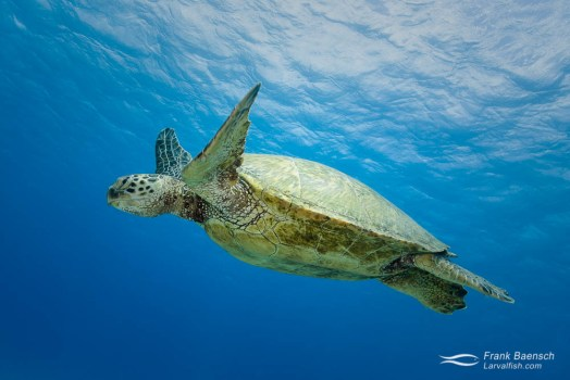 A green turtle (Chelonia mydas) swims by in the blue water.