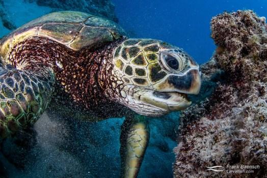 A green sea turtle (Chelonia mydas) feeding on  algae cover rocks.