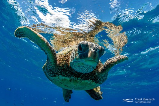 Face to face with a green sea turtle (Chelonia mydas) on the surface.