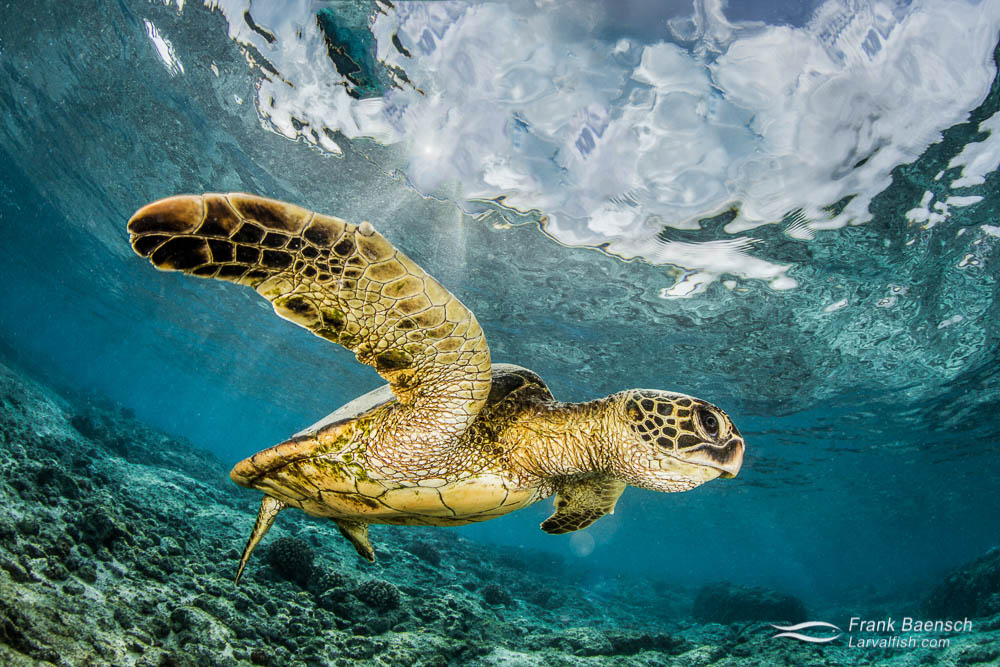 Green sea turtle (Chelonia mydas) displaying its powerful flipper. Hawaii.