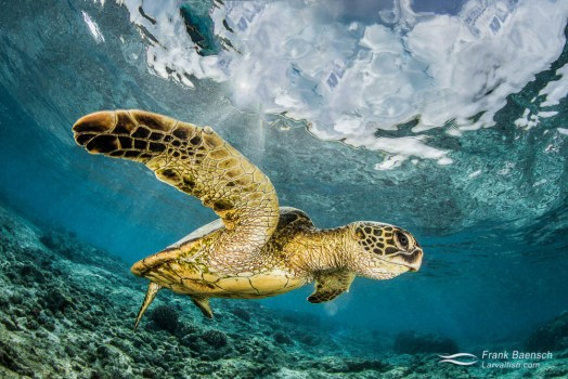 Green sea turtle (Chelonia mydas) displaying its powerful flipper.