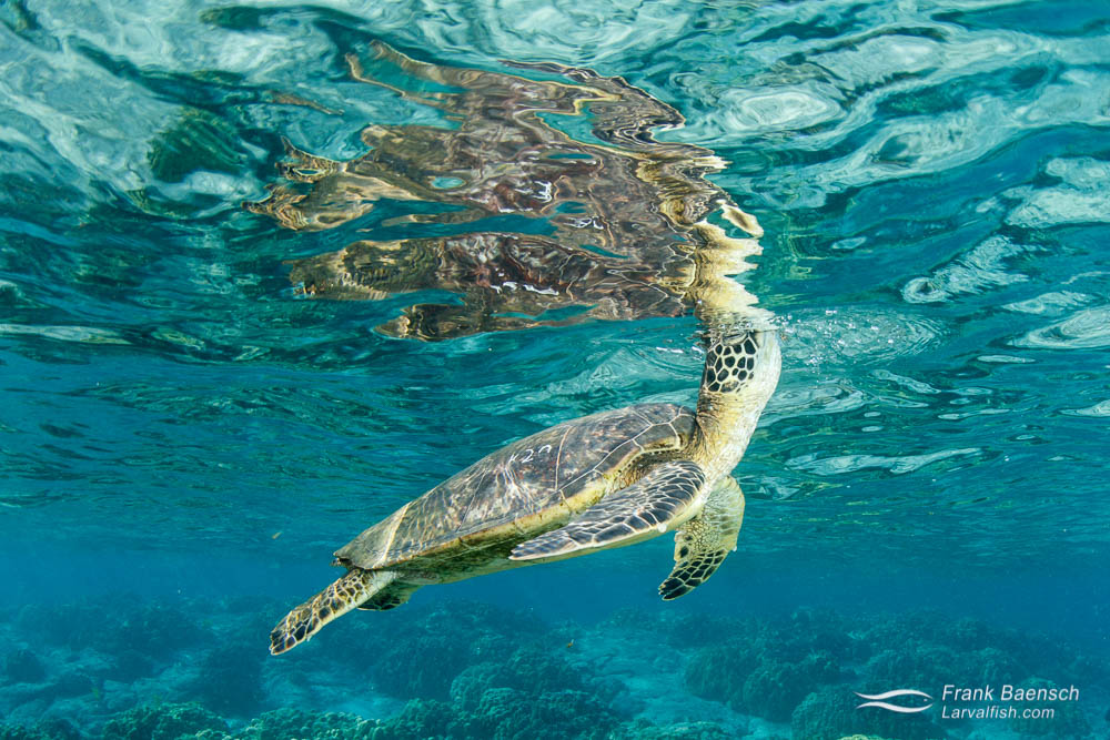 Greensea turtle takes a breath at the surface. Hawaii.