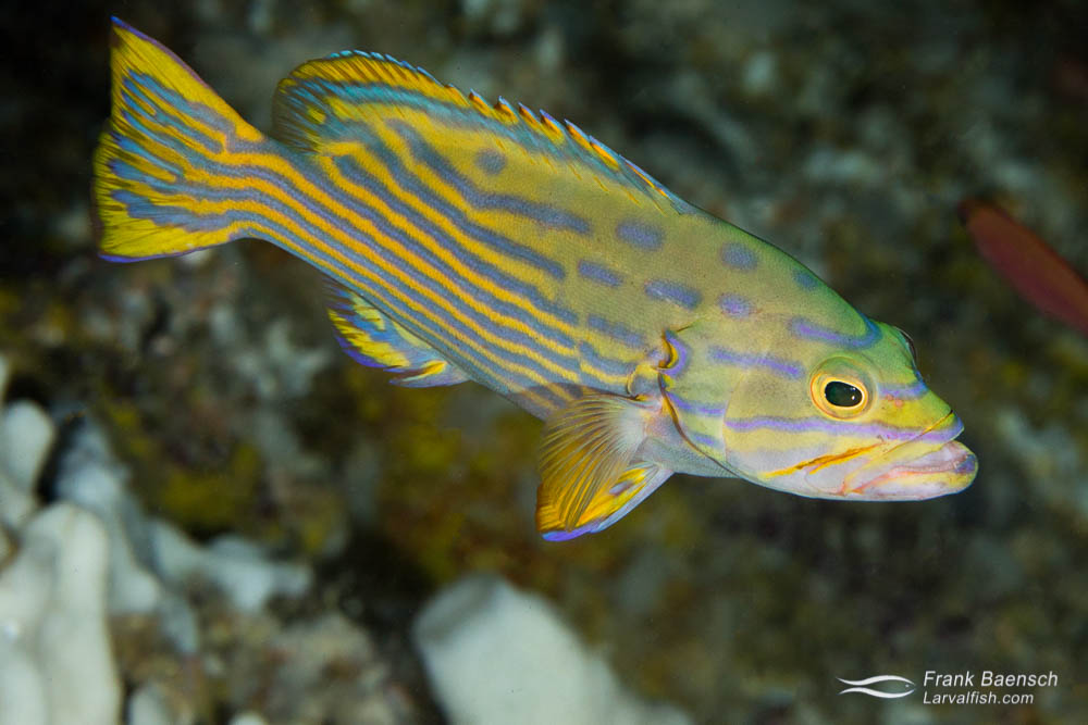 Harlequin grouper  (Cephalopholis polleni) on a deep reef in Palau.