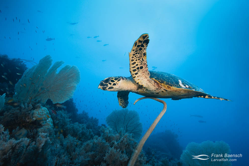 Hawksbill turtle (Eretmochelys imbricata) swims over soft corals. Papua New Guinea.