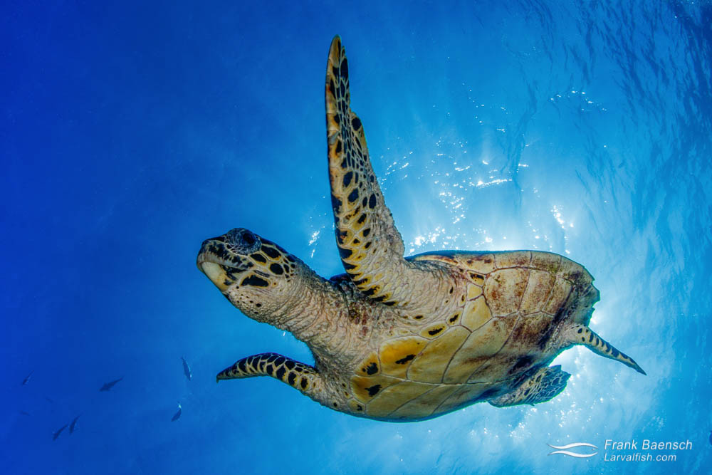 Hawksbill turtle (Eretmochelys imbricata) bolts down from the surface in Palau.