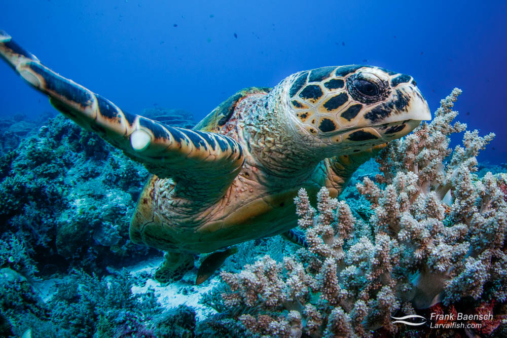 Head on shot of hawksbill turtle (Eretmochelys imbricata). Palau.