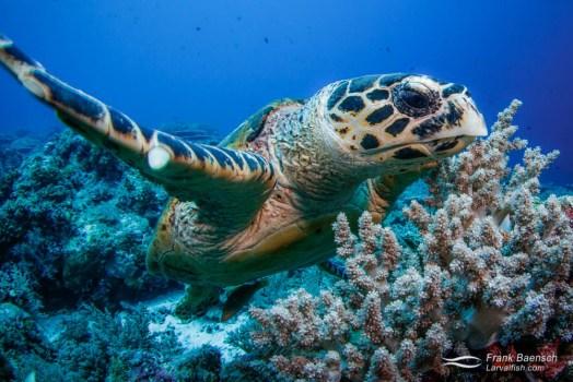 Head on shot of hawksbill turtle (Eretmochelys imbricata).