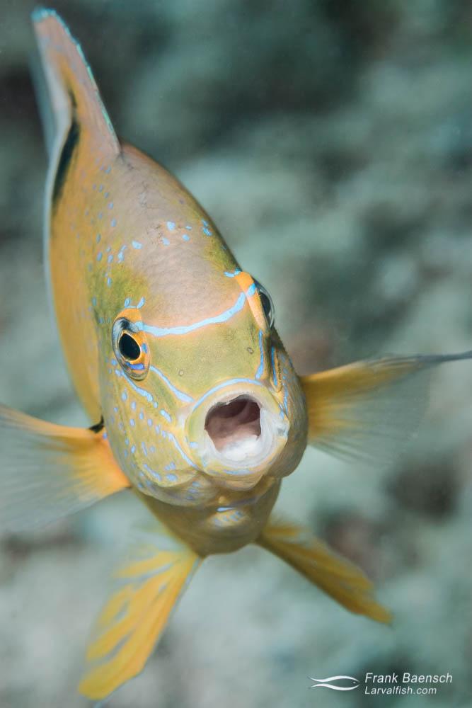 A yawning honeyhead damsel (Dischistodus prosopotaenia). Solomon Islands.