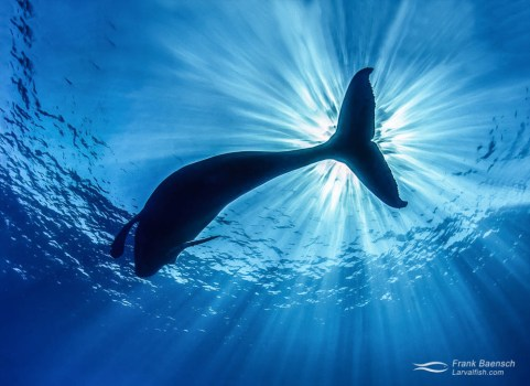 Humpback whale (Megaptera novaeangliae) and sunrays from below.