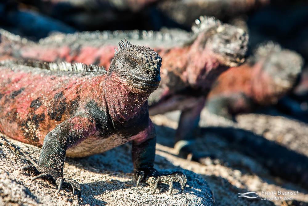 Red color variant of Galapagos marine iguana (Amblyrhynchus cristatus). Galapagos Islands.