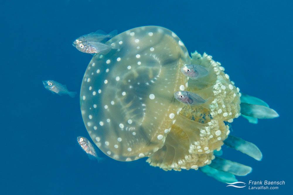 Juvenile jacks (Carangids) seek protection on medusa in Palau.