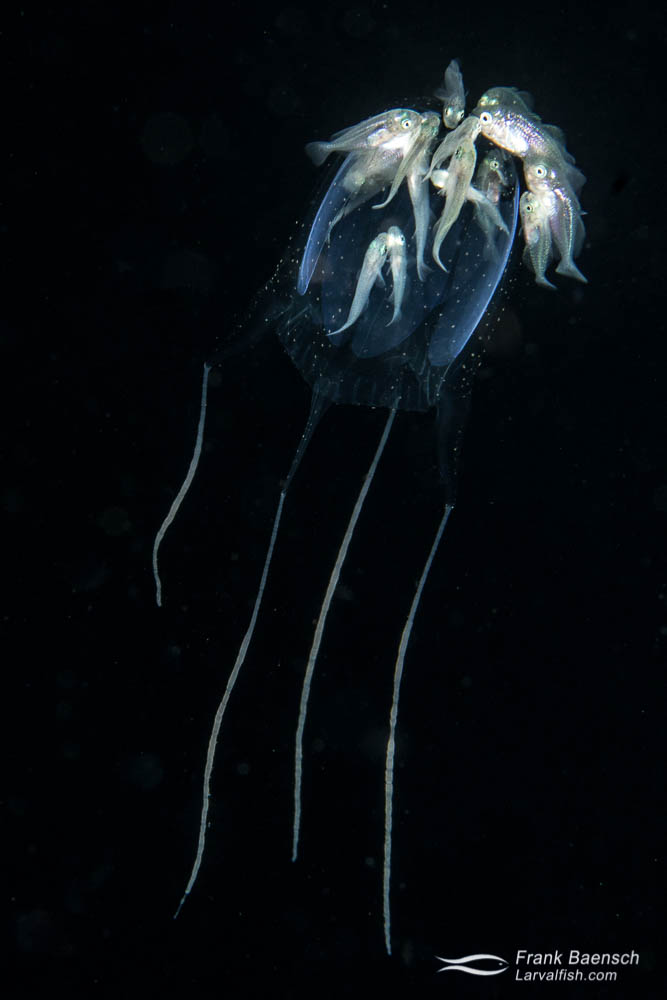 Juvenile jacks (Carangids) seek protection on a venomous medusa on blackwater dive in Palau.