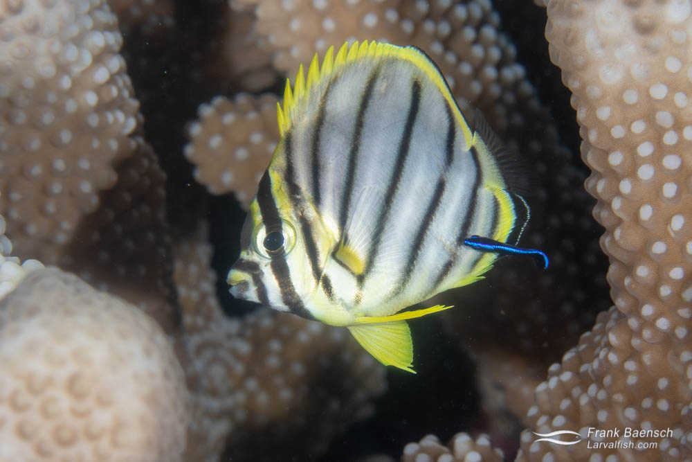 A recently settled juvenile Meyer's butterflyfish (Chaetodon meyersi). Solomon Islands.