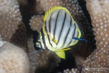 A recently settled juvenile Meyer's butterflyfish (Chaetodon meyersi)
