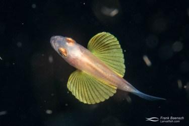 A cardinalfish larva shows off its beatiful fan-like pelvic fins on a blackwater dive in the Solomon Islands.
