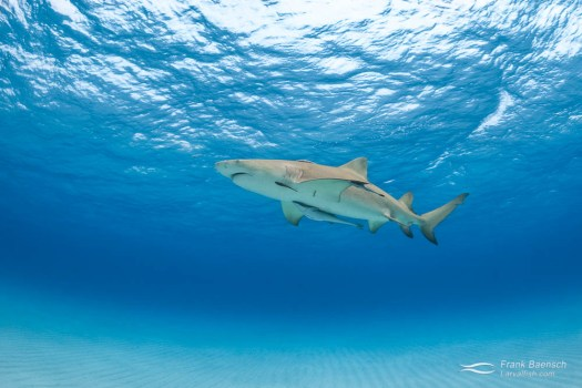 A lemon shark (Negaprion brevirostris) swims over sand in the turquoise waters of the Bahamas.