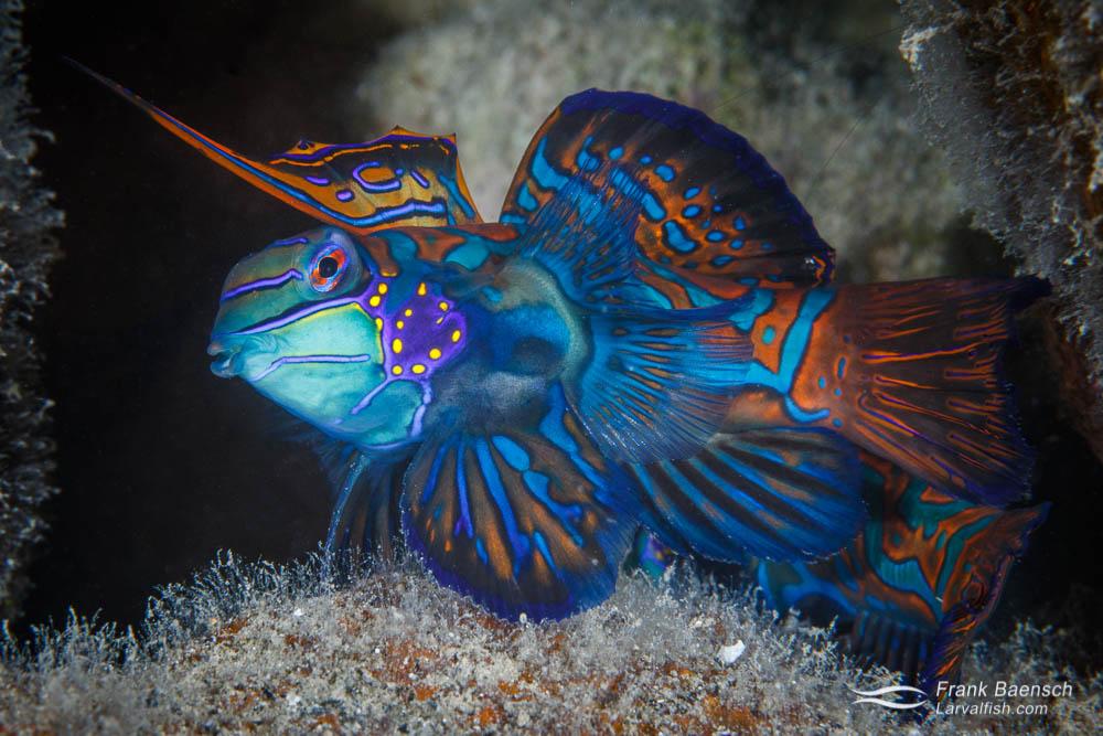 A male mandarinfish (Synchiropus splendidus) in Palau.